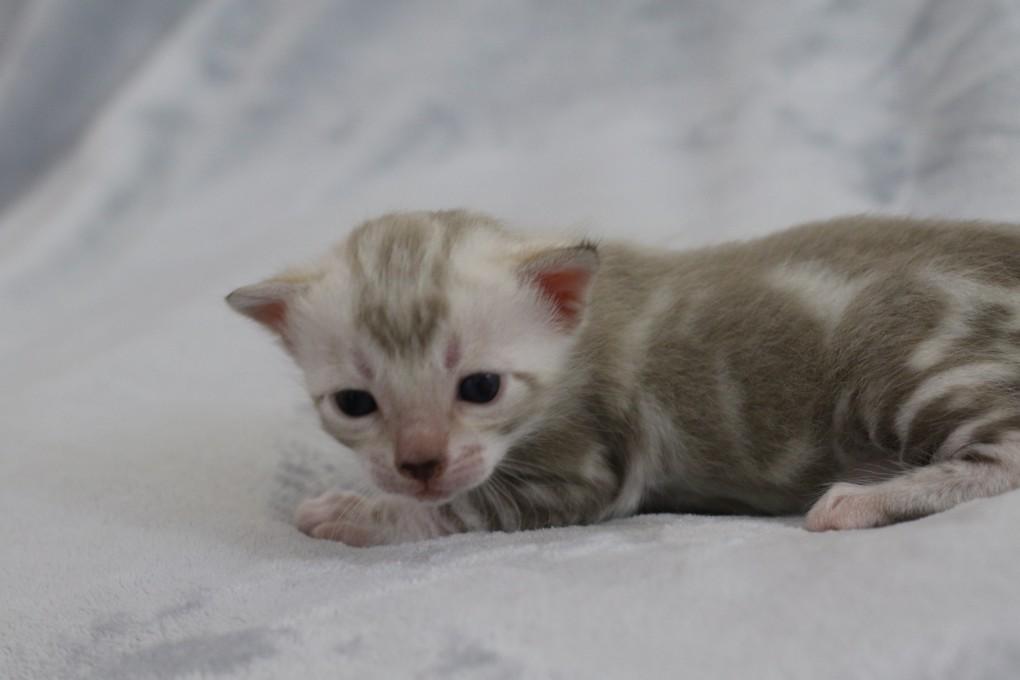 Lynx Marble geboren 29.12.2016