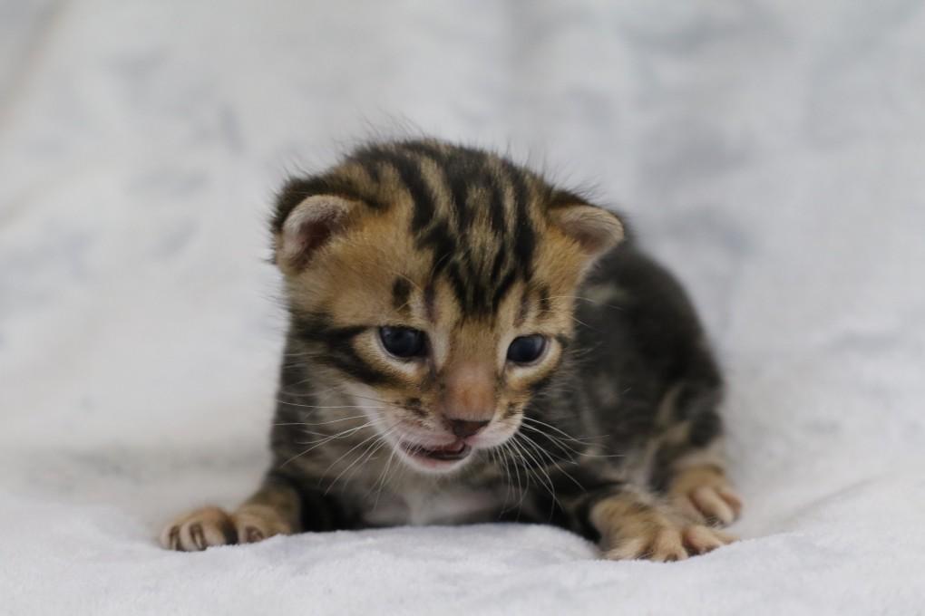 Bengalkitten geboren 29.12.2015