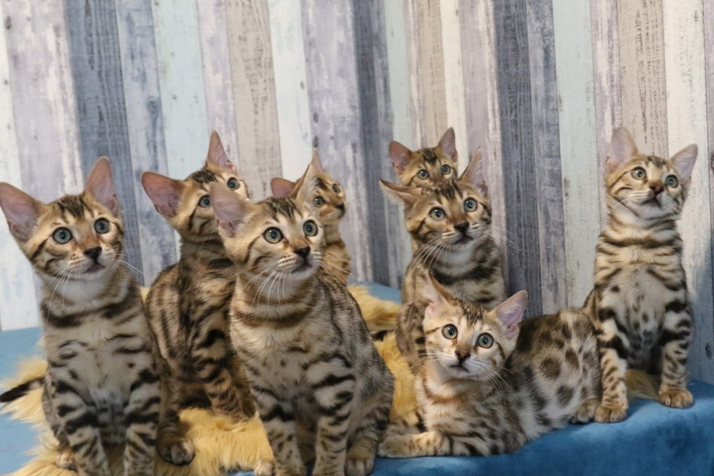 acht wunderschöne Bengalen
